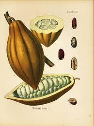 Cacao voedsel van de goden:                                                                   een tipje van de sluier