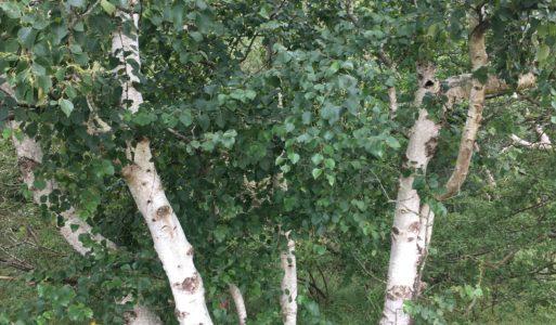 """Bomen artikel: BERK                                                                                                               """"Vrouwe van het woud"""""""