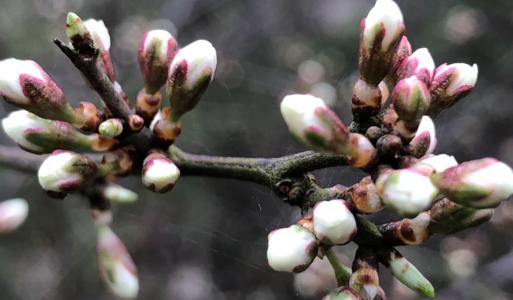Bomen artikel: Sleedoorn – Omarm de duisternis